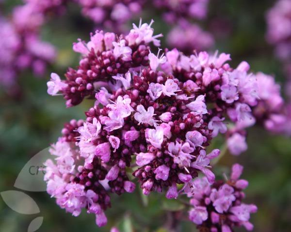 Marjoram - Flower Picture