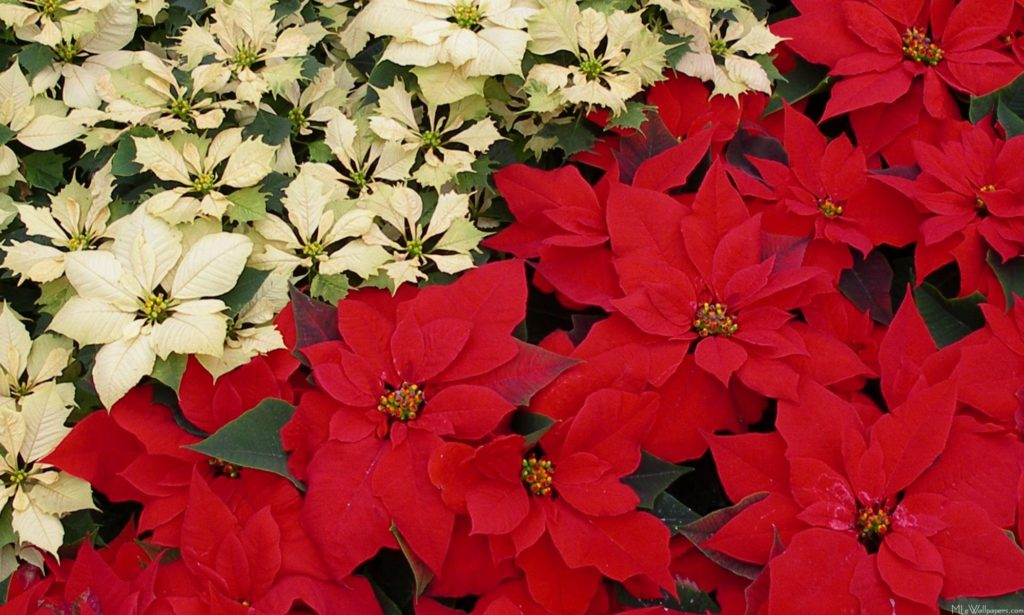 Poinsettia - Pictures of Flower