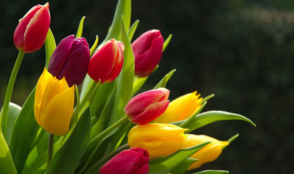 Tulips - Pictures of Flowers
