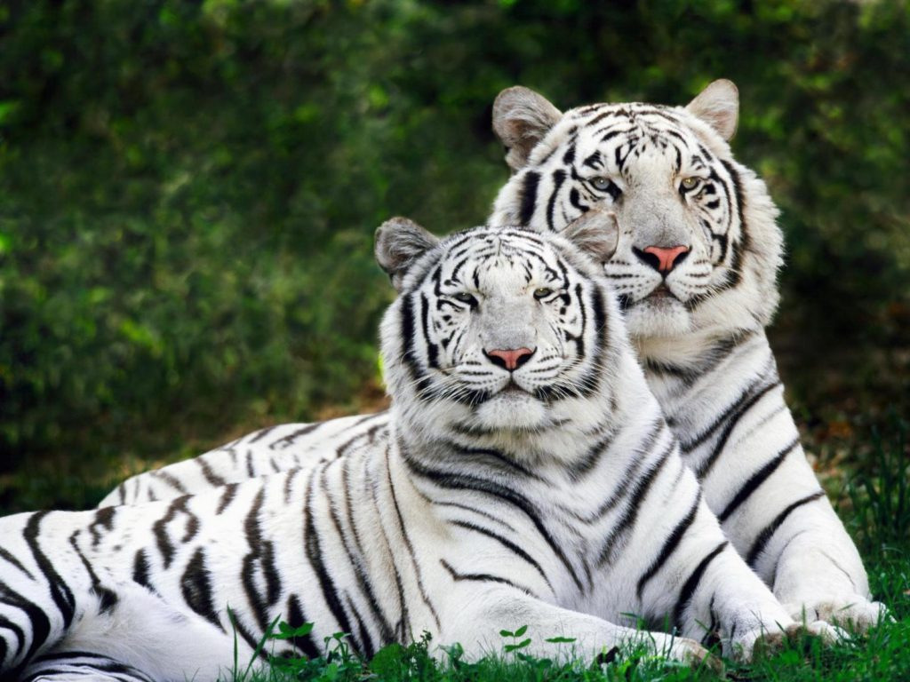 White Bengal Tigers pair