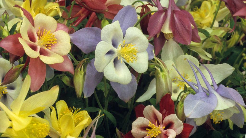 Aquilegia - Pictures of Flowers