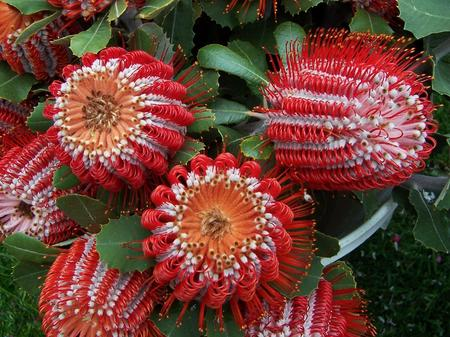 banksia - Pictures of Flowers