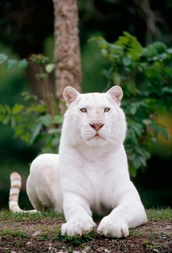 beautiful white-Bengal-Tiger