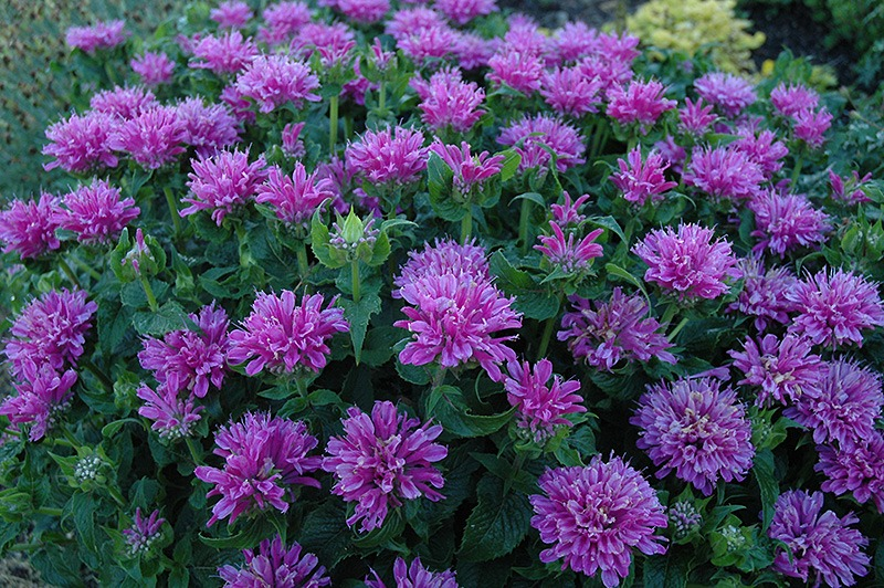 bee balm - Pictures of Flowers