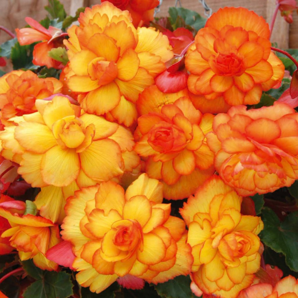 begonia - Pictures of Flowers