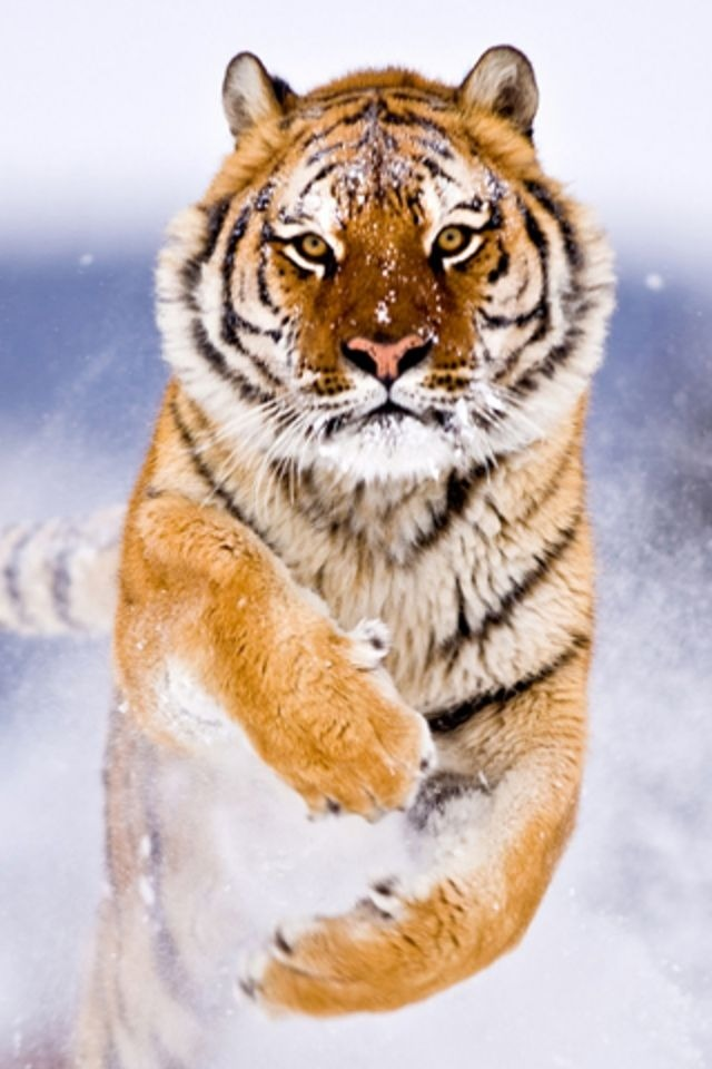 bengal tigers iphone hd wallpaper
