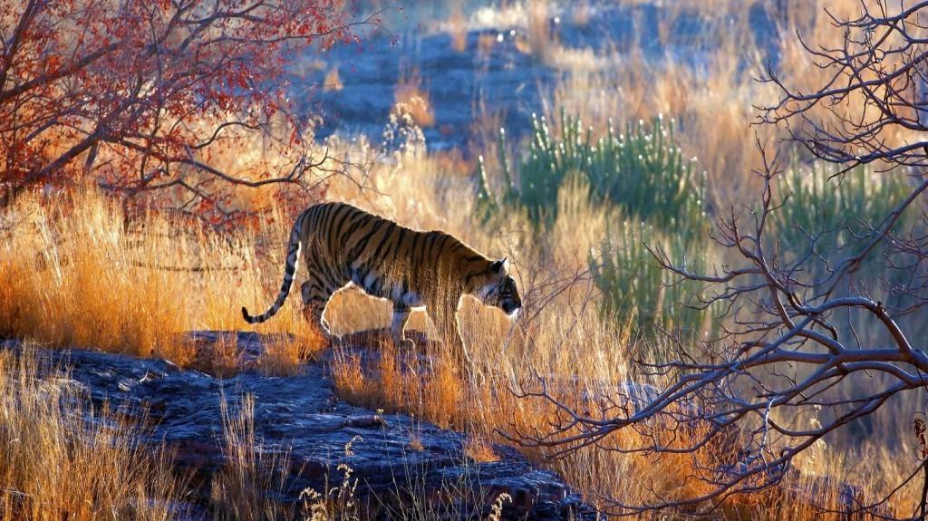 bengal tigers trail