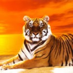 bengal tiger wallpaper