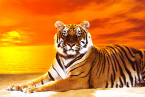 Bengal Tiger Pictures and Wallpapers Collection