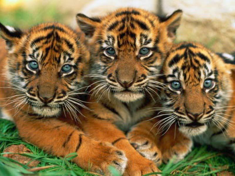 bengal tigers cubs