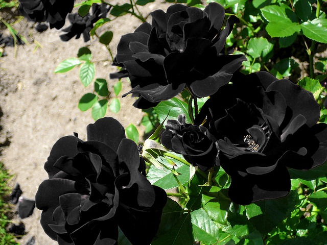 black rose - Picturess of Flowers