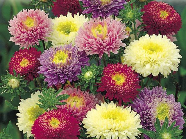 callistephus - Picture of Flowers