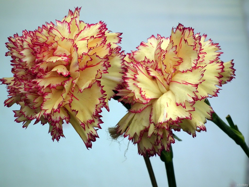 carnation - Picture of Flowers