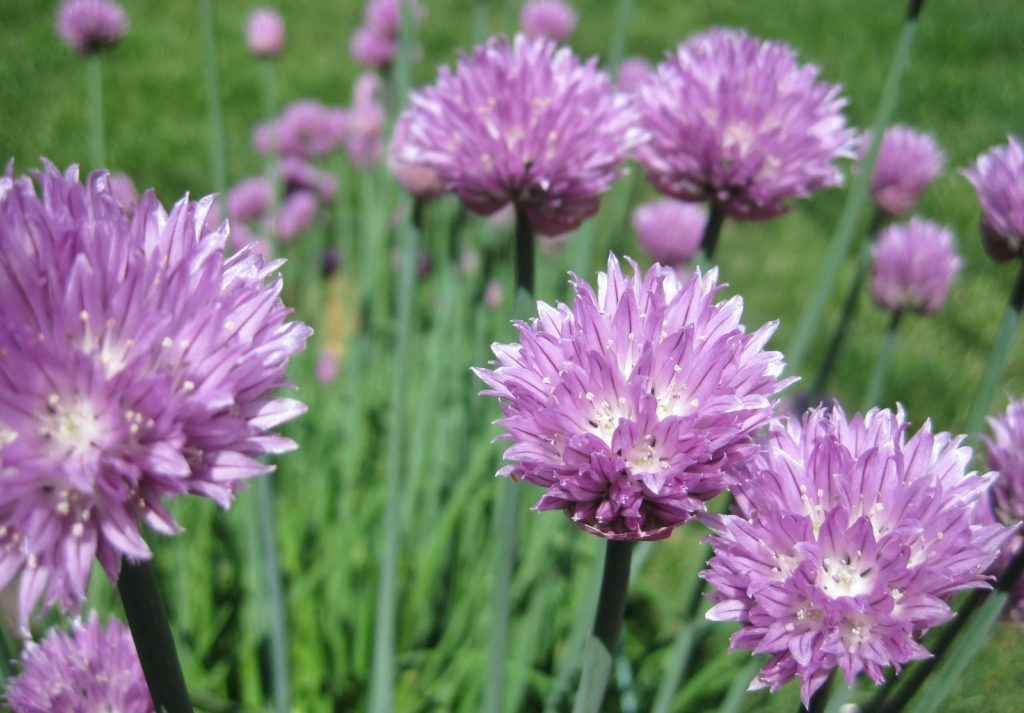 chive flowers - Flowers Pictures