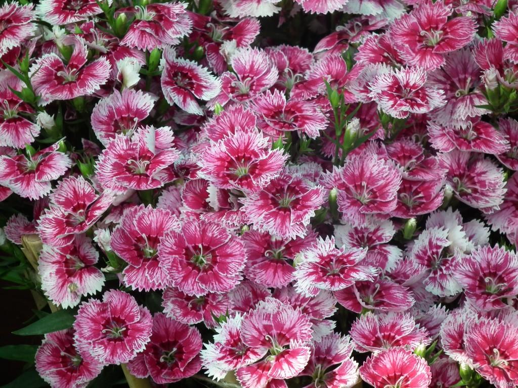 dianthus barbatus - Flowers Pictures