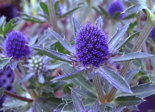 eryngium - Flowers Pictures