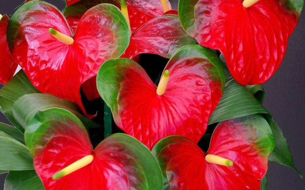 flamingo flower - Flowers Pictures