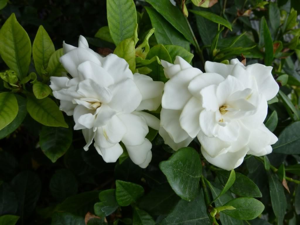 gardenia - Flower Pictures