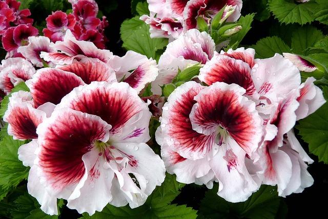 geranium - Flower Pictures