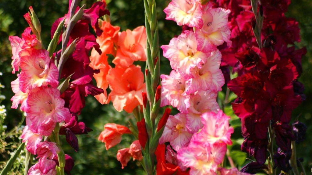 gladiolus - Flower Pictures