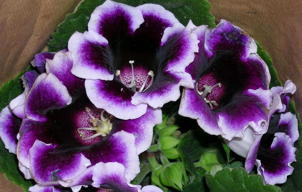 gloxinia - Flower Pictures
