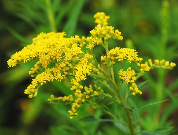 golden rod - Flower Pictures