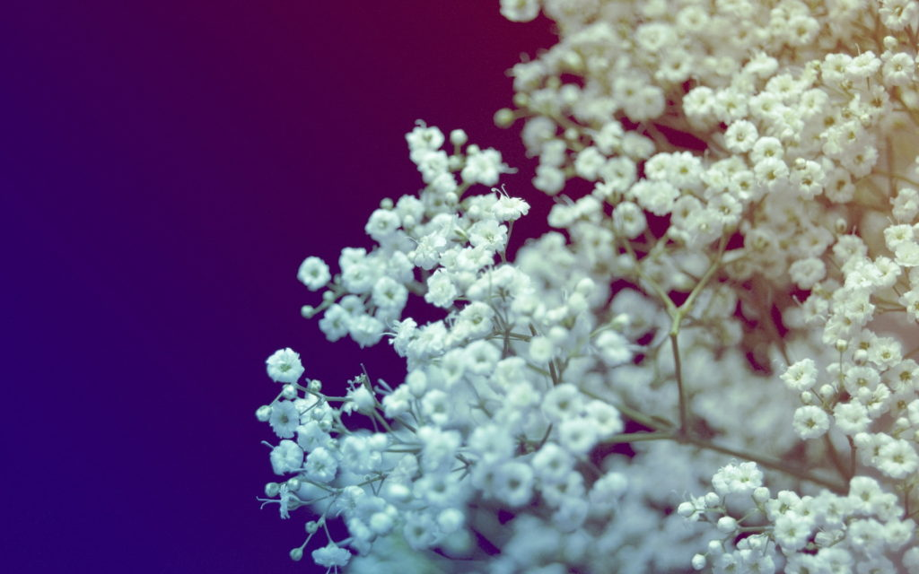 gypsophila - Flower Pictures