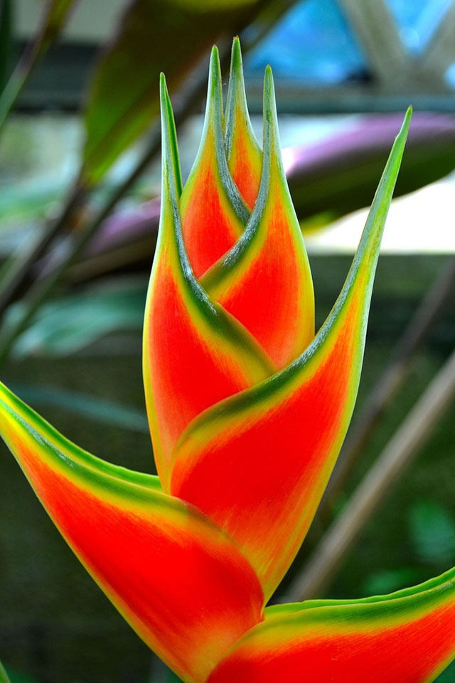heliconia - Flowers Picture