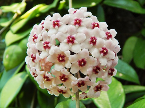 hoya carnosa - Flowers Picture