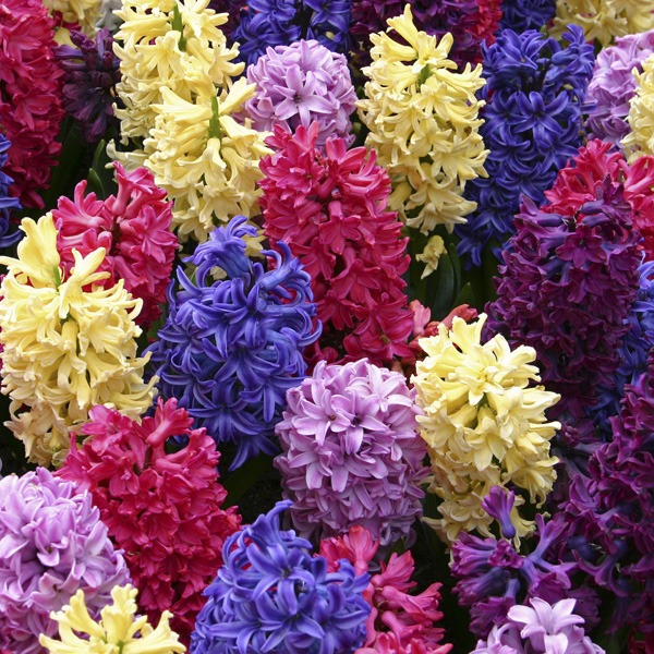 hyacinth - Flowers Picture