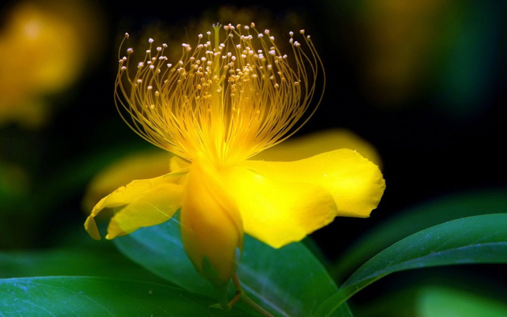 hypericum - Flowers Picture