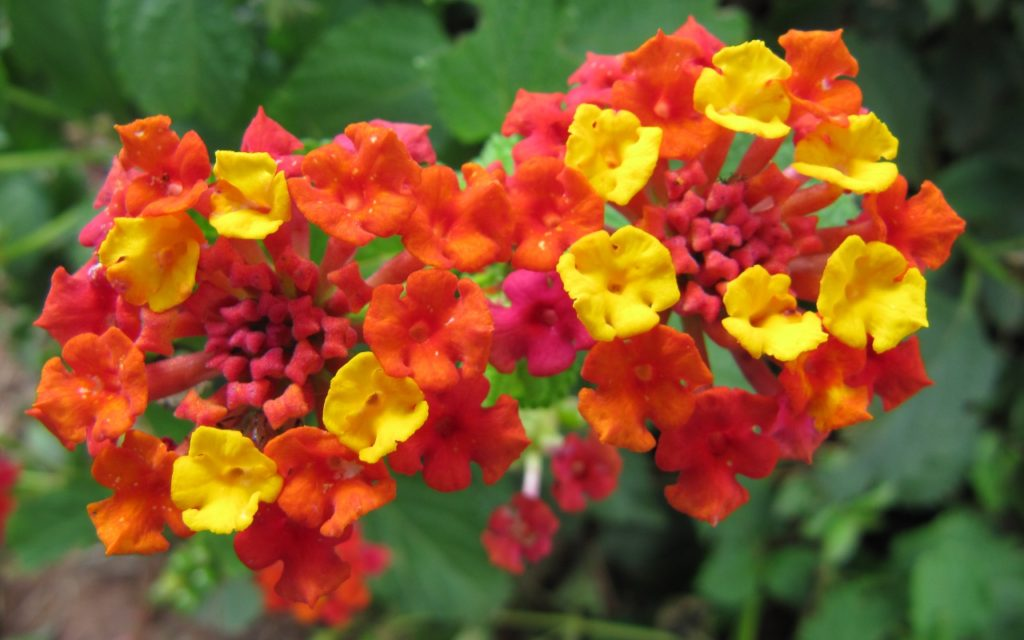 lantana - Flowers Picture