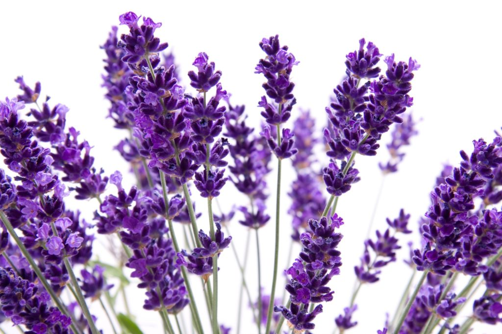 lavender - Flowers Picture
