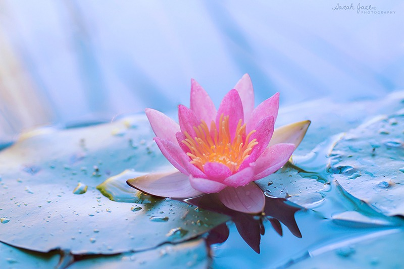 lotus - Flower Picture