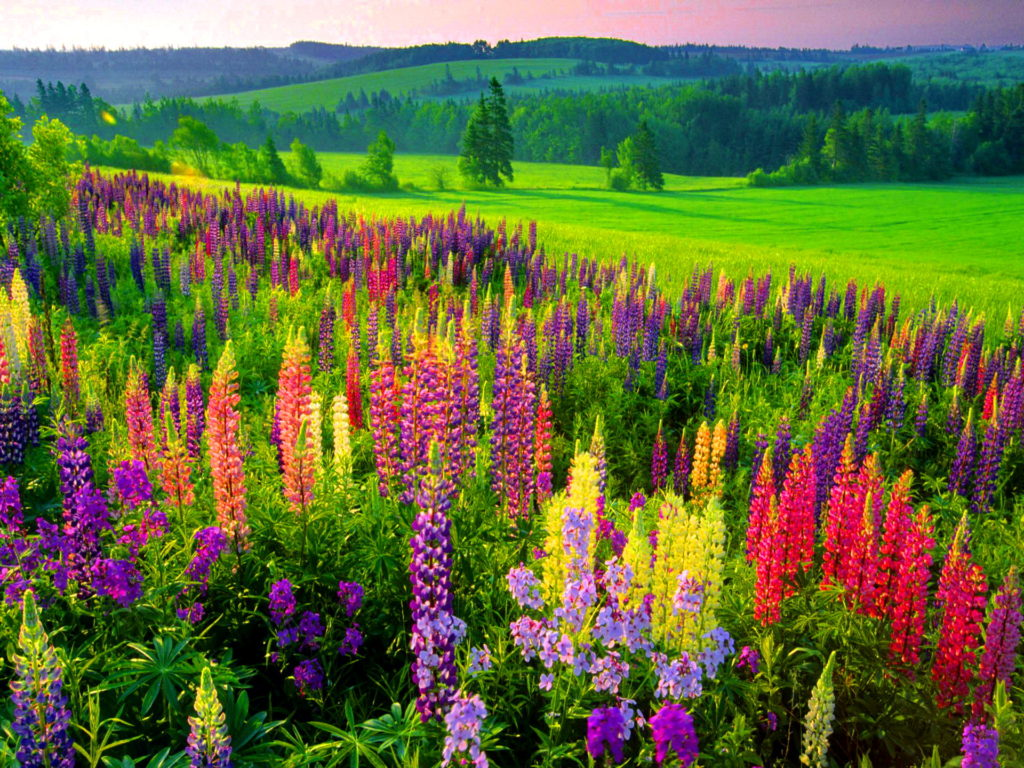 lupin Flower Picture