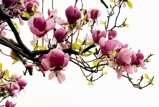 magnolia - Flower Picture