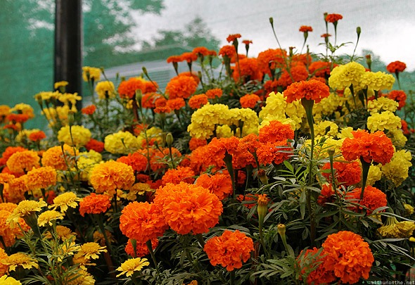 marigold - Flower Picture