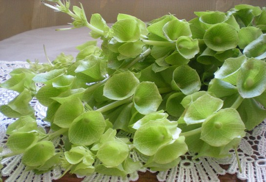moluccella - Flower Picture
