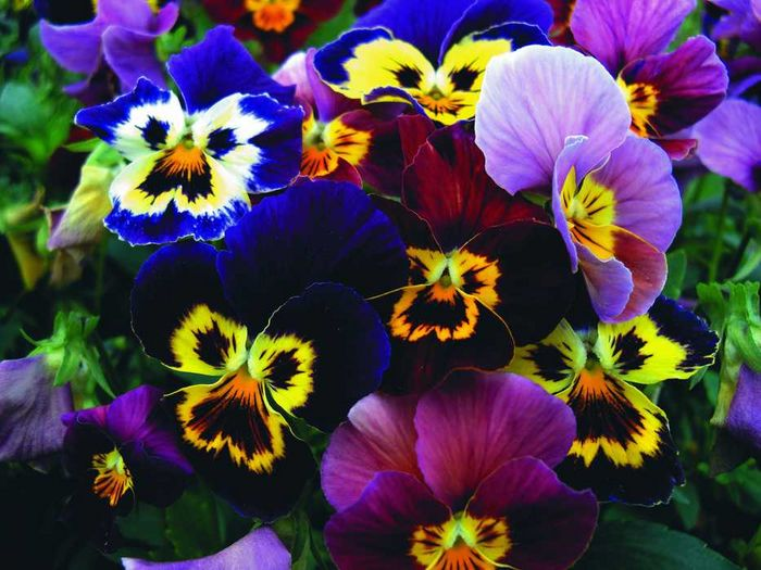 pansy - Flower Picture