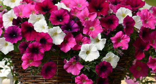 petunia - Flower Picture