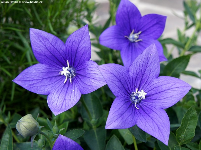 platycodon - Pictures of Flower