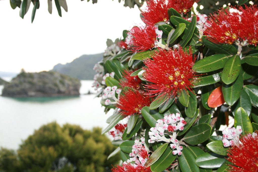 pohutukawa - Pictures of Flower