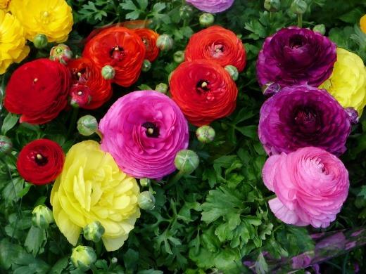 ranunculus - Pictures of Flower