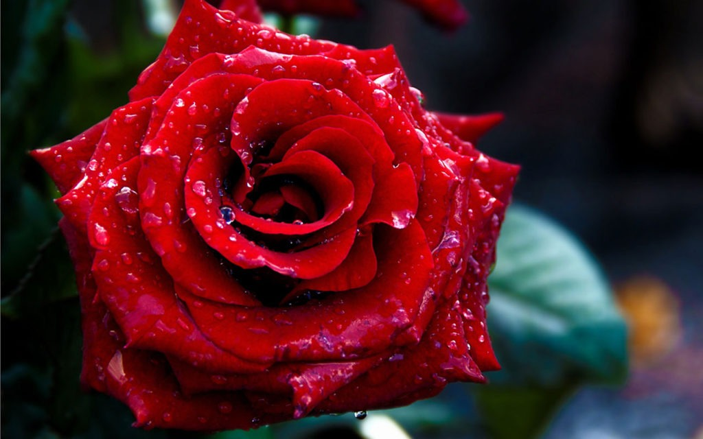 red rose - Pictures of Flower