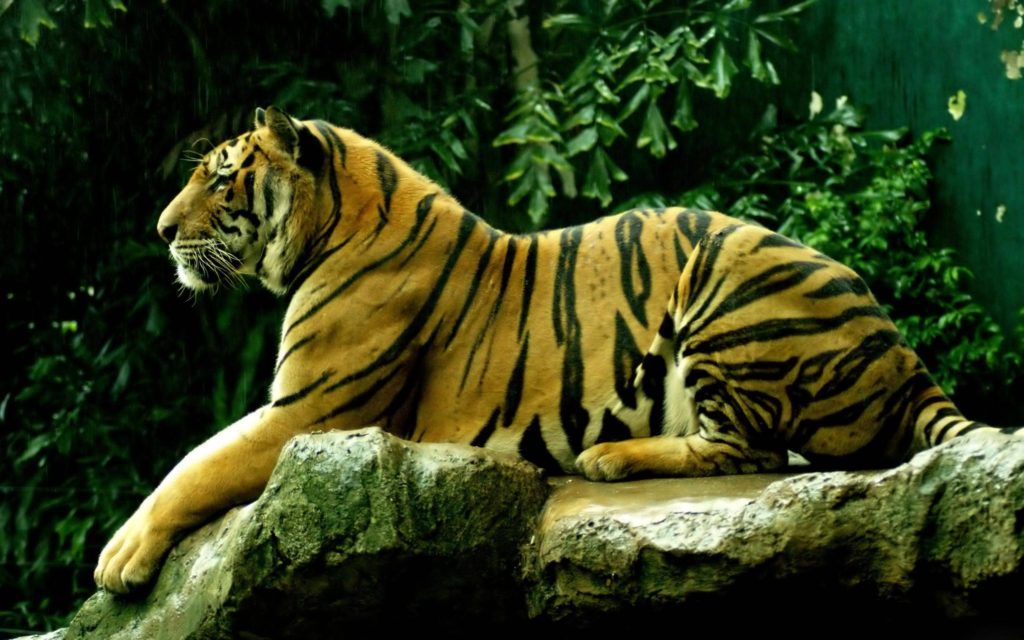 royal_bengal_tiger_hd_wallpaper