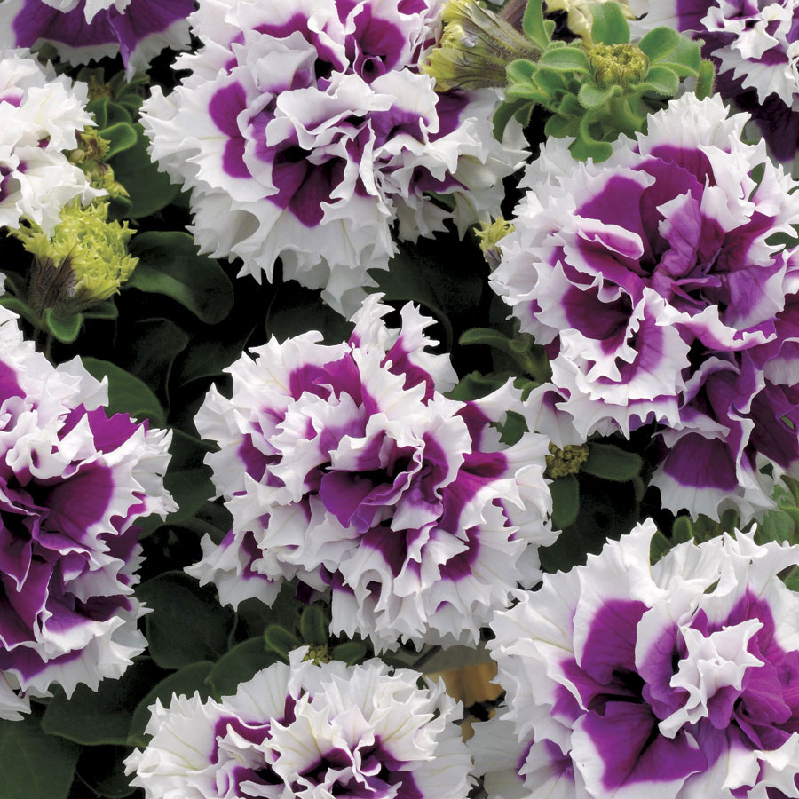 ruffle petunia  - Pictures of Flower