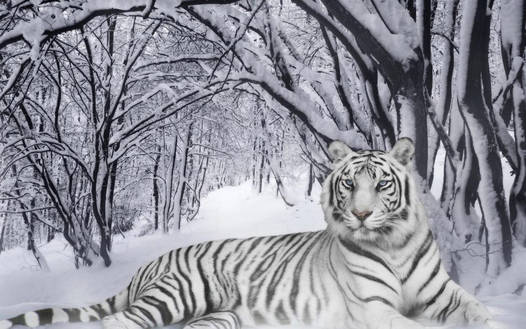 snow bengal tigers