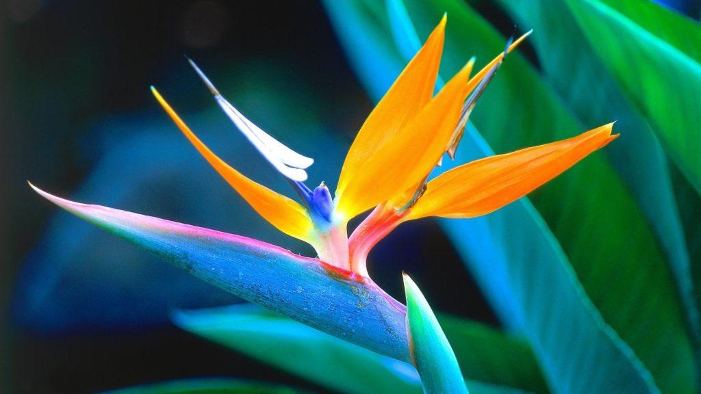 strelizia - Pictures of Flower