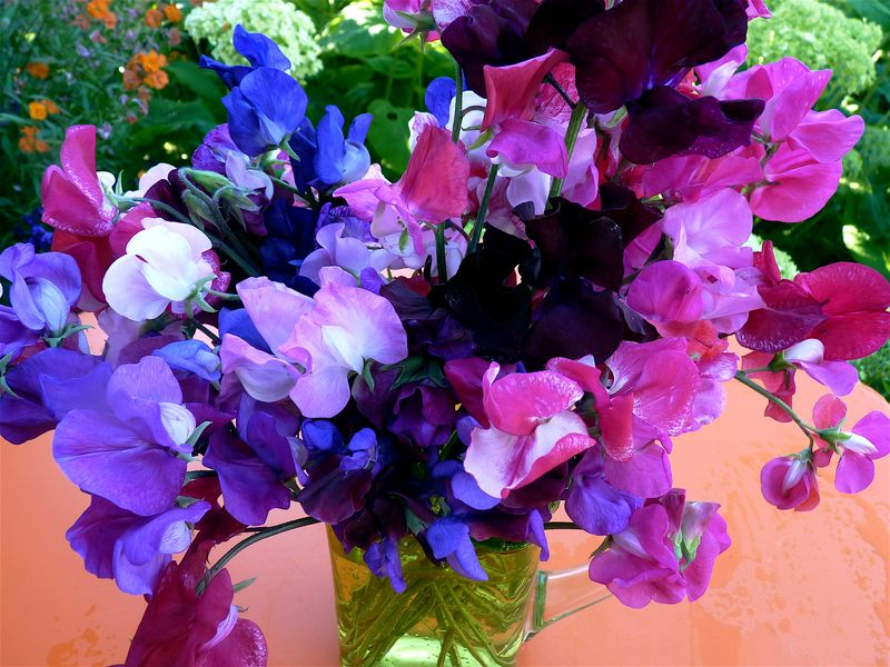 sweet peas - Pictures of Flower