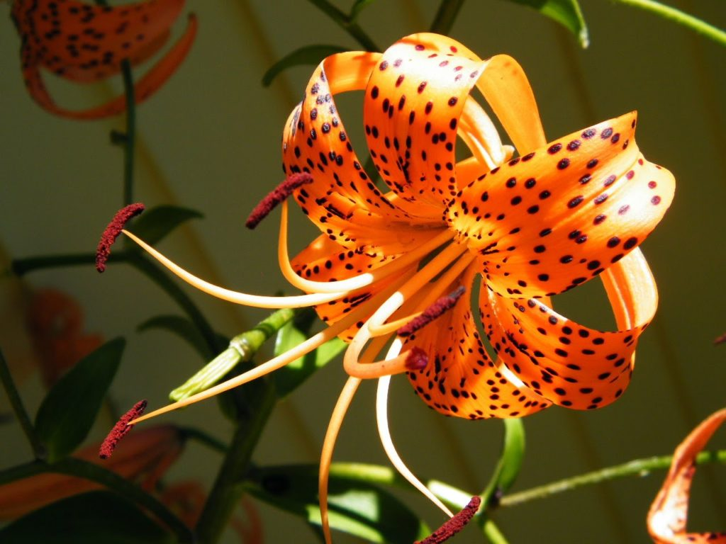 tiger lily - Pictures of Flower
